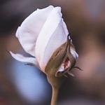 白色のバラの蕾