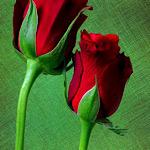トゲのないバラ