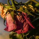 赤色の萎れたバラ