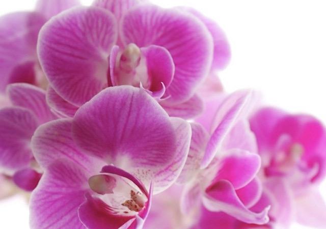 ピンク色の胡蝶蘭(コチョウラン)の画像