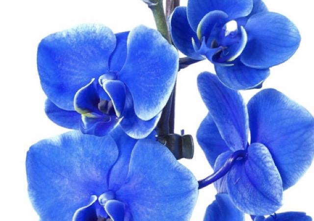 青色の胡蝶蘭(コチョウラン)の画像
