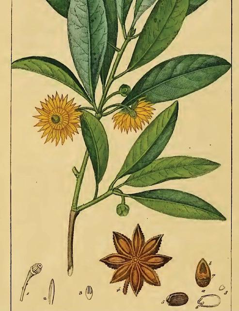 Wikipediaから引用したトウシキミの画像