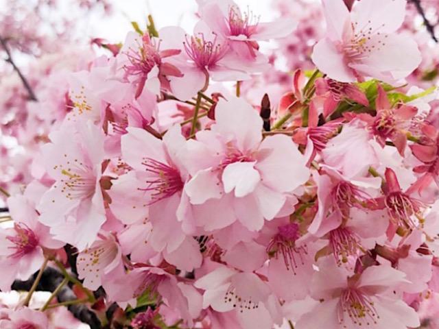 私が撮影した桜(サクラ)の画像