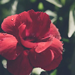 濃い赤色のカーネーション