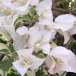 サンデリアナホワイト