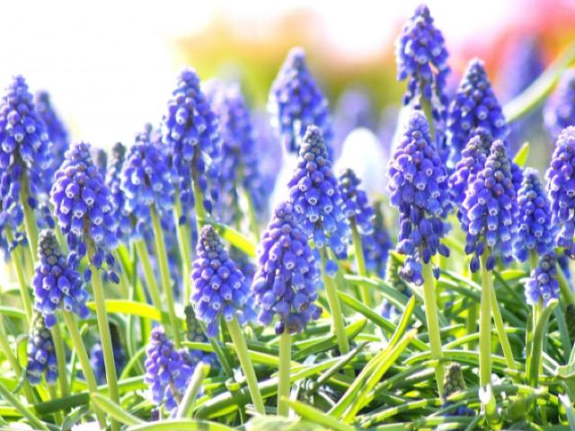 写真ACから引用した紫色のムスカリの画像