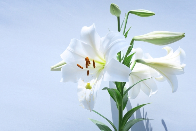 白色の百合(ユリ)の画像