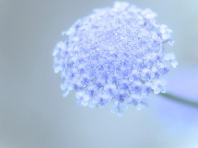 写真ACから引用したブルーレースフラワーの画像