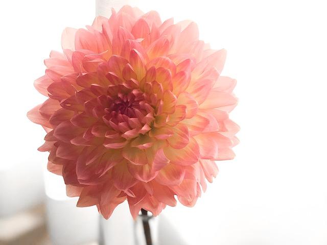 中目黒のおしゃれ花屋FLOWERS NEST(フラワーズ・ネスト)で購入したダリアを撮影した写真