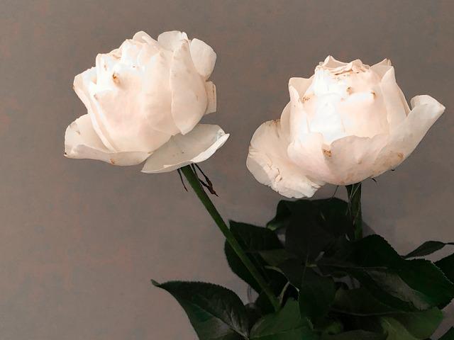 銀座のおしゃれ花屋の市川バラ園メゾン銀座店で購入したバラを撮影した画像