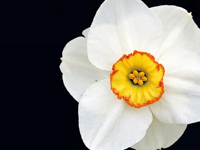 口紅水仙(クチベニスイセン)の画像