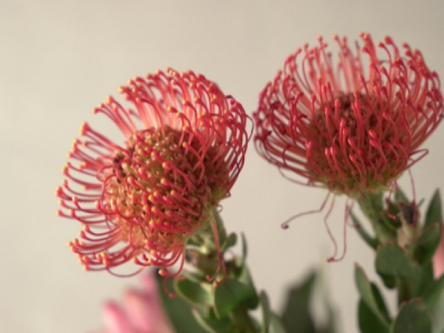 8月におすすめの切り花ピンクッションの画像