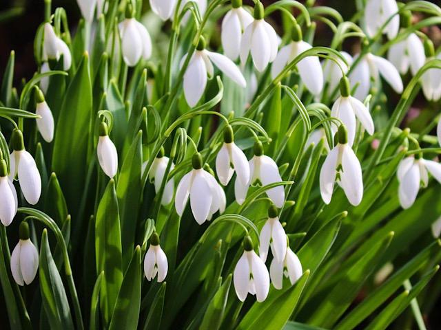 言葉 スノー ドロップ 花 スノードロップの花言葉 花の育て方、球根の植え方や時期は?