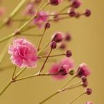 ピンク色のカスミソウの画像