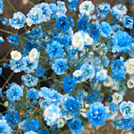 青色のカスミソウの画像