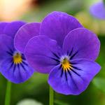 紫色のパンジー