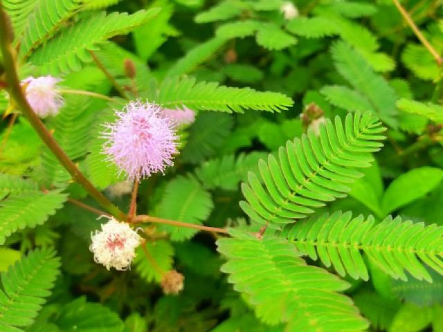 オジギソウの花の画像