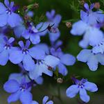 青色のロベリア