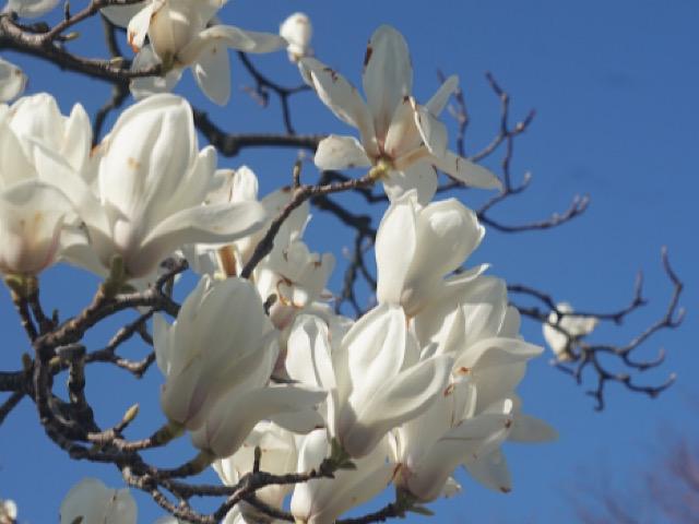 白木蓮(ハクモクレン)の画像