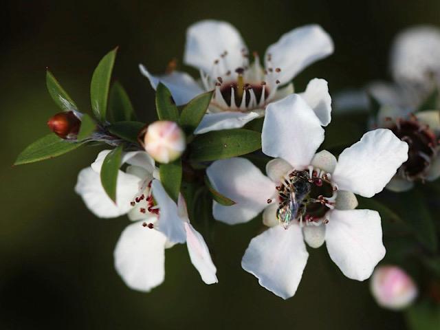 wikipediaから引用したマヌカの花の画像