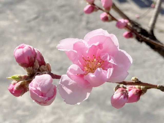桃(モモ)の花の画像