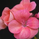 ピンク色のゼラニウム