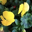 黄色のゼラニウム