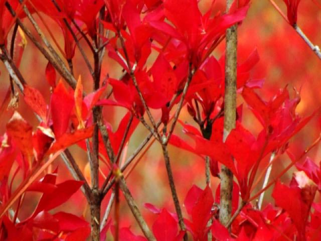 紅葉したドウダンツツジの画像