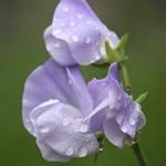 紫色のスイートピーの画像