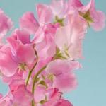 ピンク色のスイートピーの画像