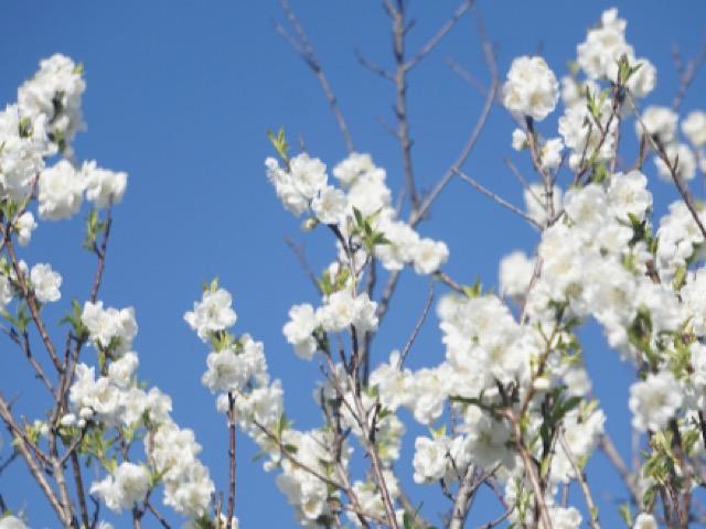 白い桃(モモ)の花の画像