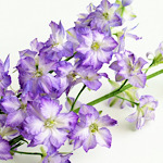 紫色のデルフィニウム