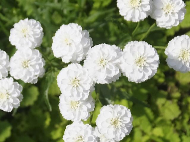 八重咲きのシレネの画像