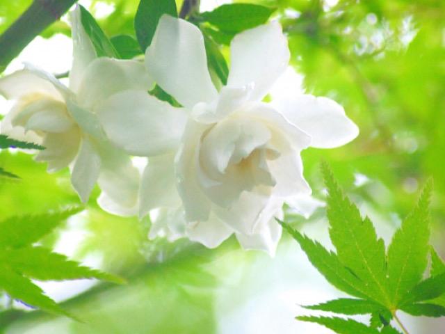 八重咲きのクチナシの画像