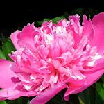 ピンク色の芍薬(シャクヤク)