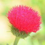 赤色のアザミ(薊)