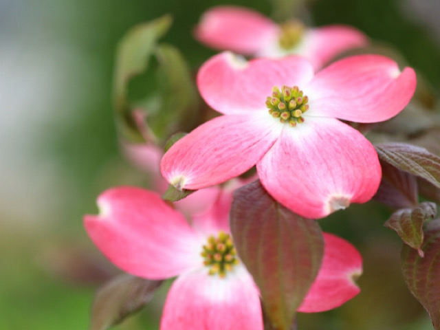 ハナミズキ(花水木)の画像