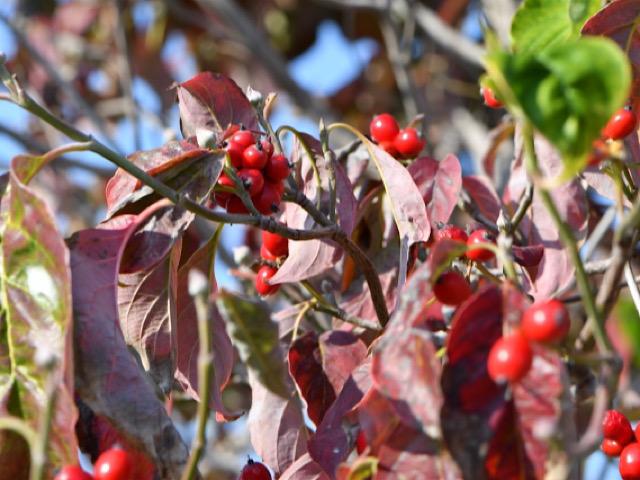 ハナミズキ(花水木)の赤い実の画像