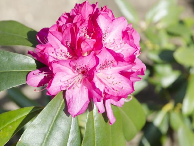 シャクナゲ(石楠花)の画像