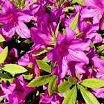 紫色のツツジ