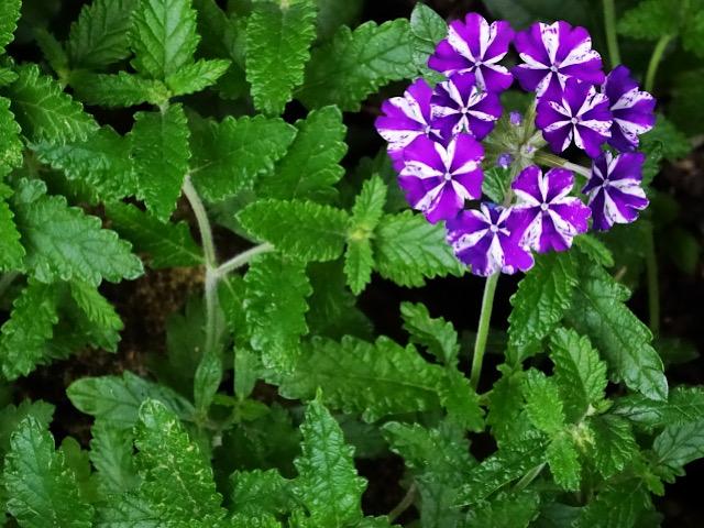 紫色のバーベナの画像