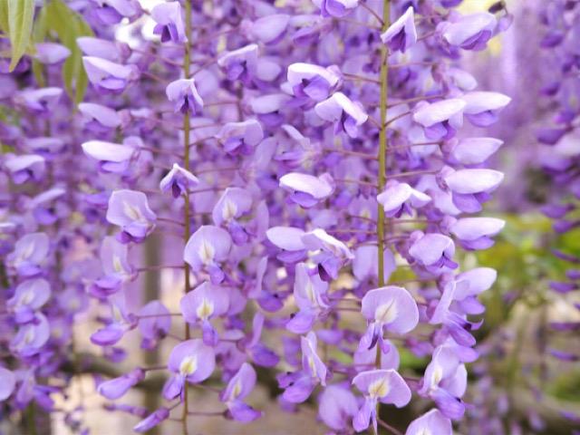 紫色の藤(フジ)の画像