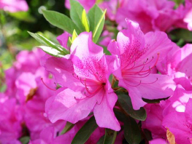 ピンク色のツツジの画像