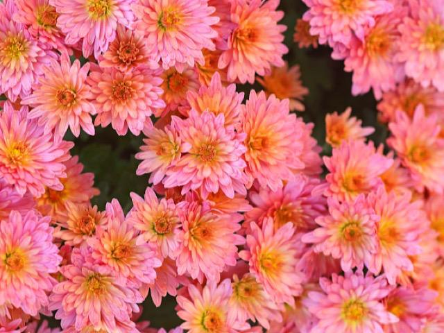 ピンク色の菊(キク)の画像