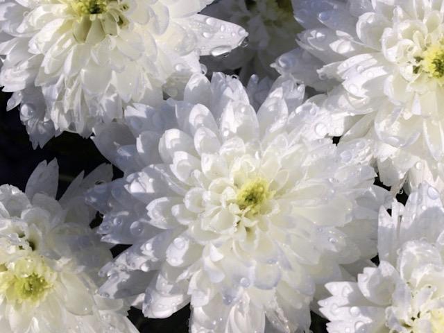 白色の菊(キク)の画像