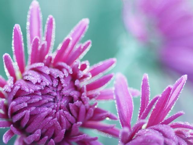 紫色の菊(キク)の画像