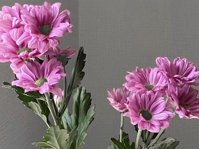 自宅で撮影したスプレーマム(スプレー菊)の画像