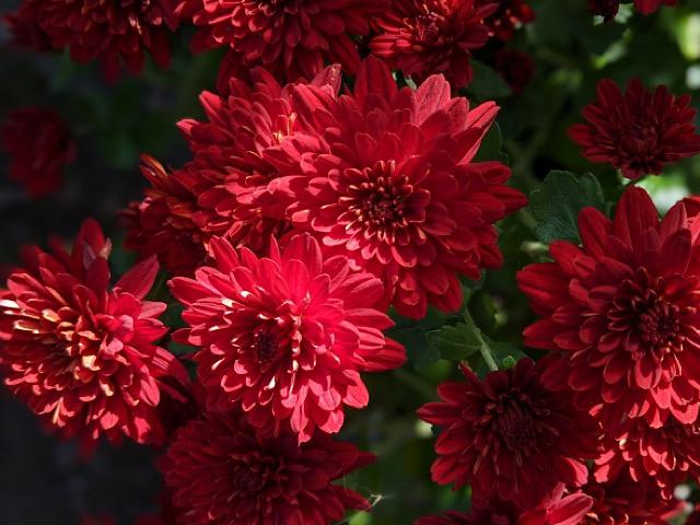 赤色の菊(キク)の画像