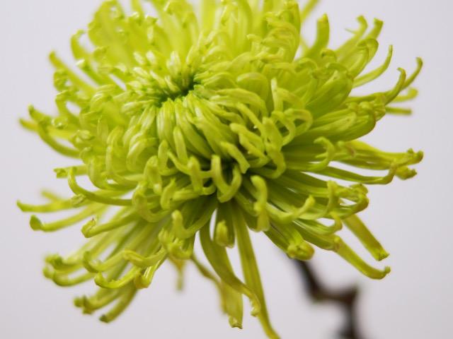 緑色の菊(キク)アナスタシアの画像