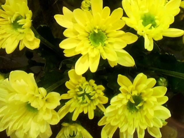 黄色の菊(キク)の画像